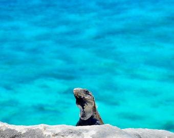 Beach iguana saying hello