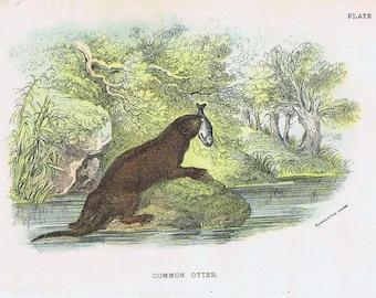 antique print otter 1896