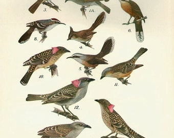 Birds 1931 Australian Book Print natural science plate XVIII, bird prints