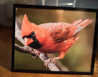 Framed Male Cardinal photo