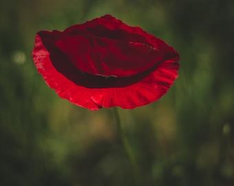Poppy Red Kiss