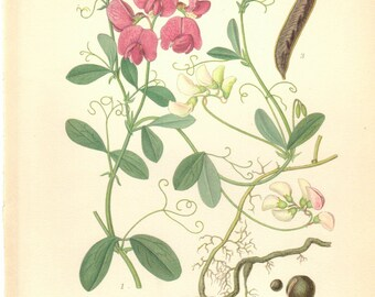 1905 Vintage Botanical Print, Sweetpea ,Pink Flower Print, Antique Botanical Print