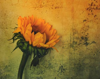 Sunflower Art Photography Print