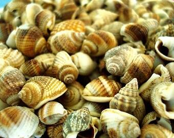 Common Nutmeg Seashells (appx. 300 pcs.)