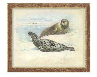 Bearded Seal, Hooded Seal, Vintage Print, Thorburn, 1979/16, Natural History, Woodland, Frameable Art