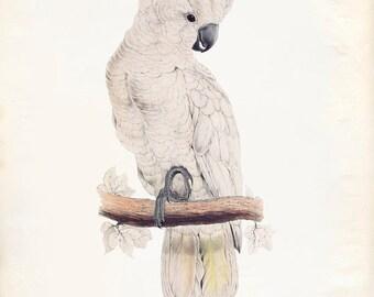 Jahrgang Lachs-crested Cockatoo, Molukkenkakadu Drucken 8 x 10-P270