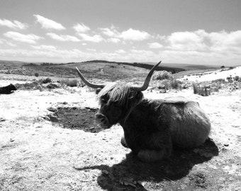 Set 2 of Highland Cattle