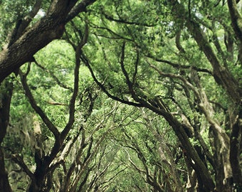 Louisiana Art, Oak Tree Photograph, Landscape Print, Large Living Room Art, Affordable Wall Decor, 8x10, 11x14, 16x20, 20x24, 24x30, 30x40