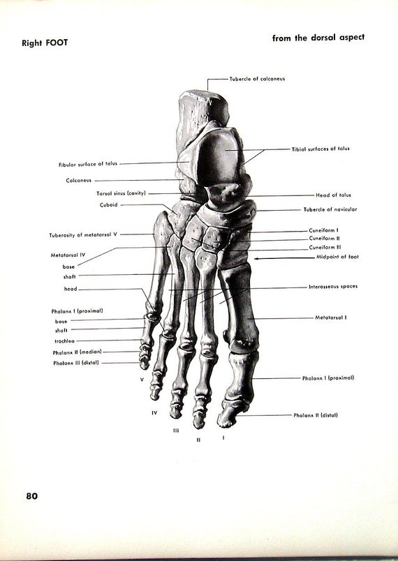 Human Foot Right Foot 1951 Vintage Anatomy Book Plate Human
