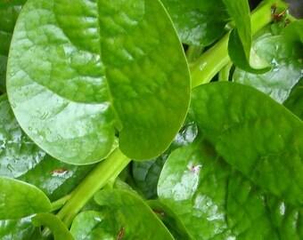 Spinach, Malabar Spinach - Climbing Spinach - Rare Edible