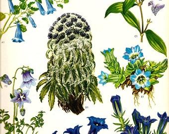 Vintage Botanical Print 1970 GOLDEN CUP Art Wild Flowers Original Book PLATE 97 Wildflowers Himalaya China Beautiful Blue Roots Green Leaves
