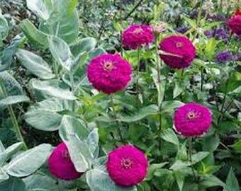 Zinnia- Violet Queen- Elegans- 100 Seeds