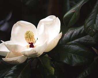 magnolia photography, southern magnolia, southern decor, magnolia art, large wall art, floral photography, southern photography dark green