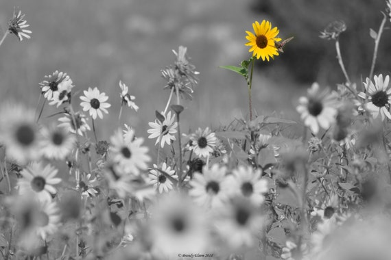 Flower photography sunflower photography black and white photography wall art color accents yellow flowers home decor sunflowers