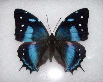 ONE Real Butterfly Blue Peruvian Baeotus