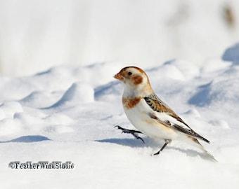 Snow Bunting Photo | Arctic Bird Photography | Walking Bird Picture | Tundra Wildlife | Winter Wall Art | White Nature Decor | Bunting Print