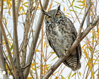 Fall Owl, Great Horned Owl in the Fall