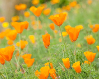 INSTANT DOWNLOAD, Orange California Poppies, Floral Wall Art, California art, Printable art, Flower Photography, Poppy Flowers, DYI art