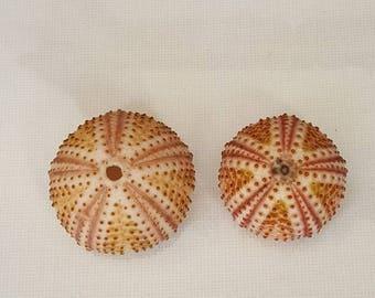 2pcs Arbacia lixula sea urchins,Amazing Color.Summer collection, a real sea treasure.