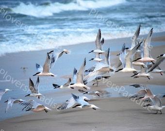 Flock of Shorebirds // Florida Shorebird Photograph // Tern Photograph // Birds on Beach Photograph
