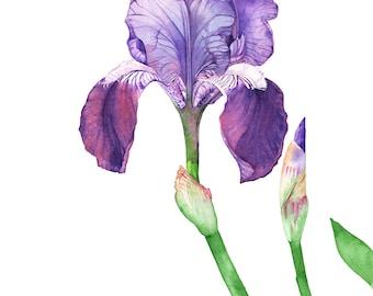 Iris watercolor painting print, Iris print, Iris painting, flower watercolor print, 5 by 7 size, I33116, botanical wall art