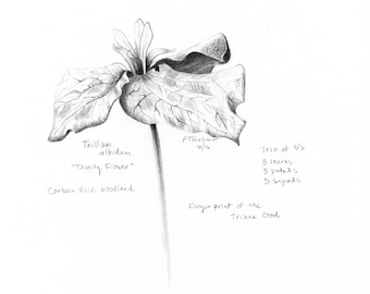 Trillium, Nature Journal, Flower Drawing, Flower Sketch