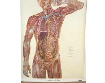 1957 Denoyer Geppert Lymphatic System anatomical chart
