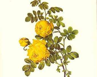 Redoute Botanical Rose Print  14