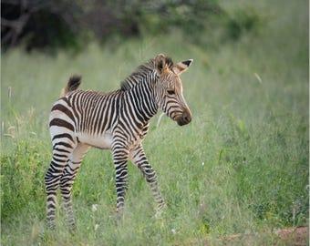 Baby Zebra   Fine Art Photography Print   Zebra Wall Art