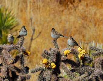 Tough Little Sparrows   Desert Birds   Cholla Cactus   Buckhorn Cholla   SW New Mexico   Desert Wildlife