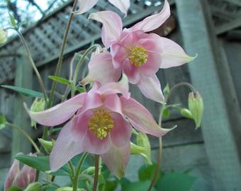 Columbine seeds, Pink Columbine flower, perennial flower, shade garden seeds, flower seeds