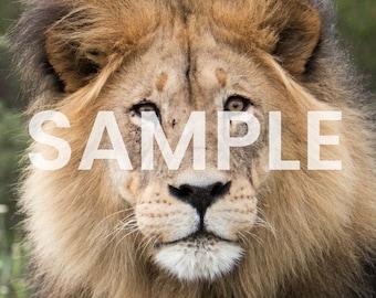 3 Male Lion Photo Downloads