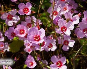 California Wildflowers - pink flower nature photography