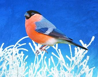 Bull Finch in Winter, Bull Finch Closeup, Bird Photography, Fine Art Photography, Bird Photo, Bird Wall Art, Bird in Winter, Winter Frost