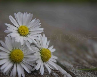 Daisies on Wood - Digital Download - Photography by GemShort Photography