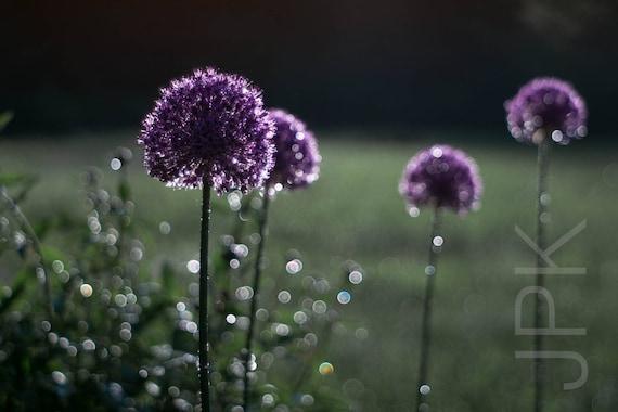 Allium after the rain, Western Massachusetts