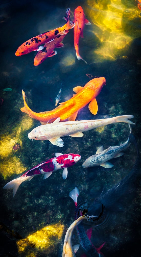 Koi Fish Pond Panoramic Wall Art Korean Decor Fine Art