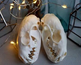 2 pcs.Real marten skulls quality 5+ , skull marten, marten gift, marten bone