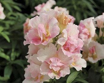 Antirrhinum Appleblossom Flower Seeds / Snapdragon / Annual 50+