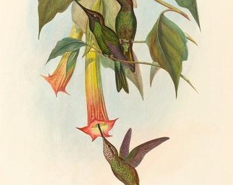 John Gould Print Reproductions: Sword-billed Hummingbird, c. 1870 Fine Art Print.