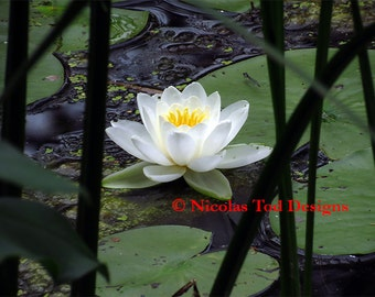 Water Lily 2 - nature photo