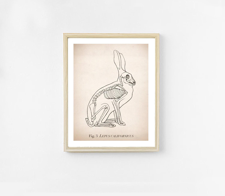 Kaninchen-Anatomie-Kunstdruck. Wissenschaft-Illustration. 8 x