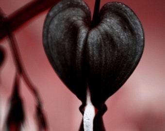 Bleeding Heart Seeds - JETTUS BLACK - Very Rare Shade Perennial - 20 Seeds