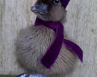 Taxiermy Black Winter Duckling
