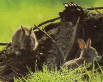 4 Vintage Rabbit poster