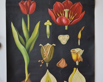 Beautiful Vintage School Card plant Tulip Schoolcart Tulip 60s