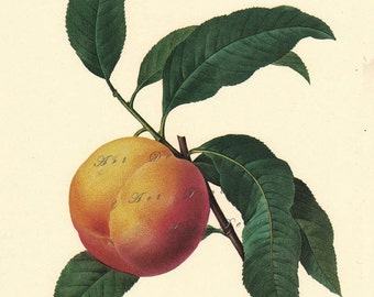 peach botanical print by Pierre Redoute, printable digital download no. 714