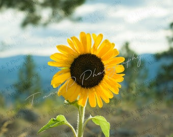 sunflower picture, sunflower, flower photo, sunflower photo, yellow sunflower, handmade art, flower picture, FLOWER Photograph, SHIPPING low