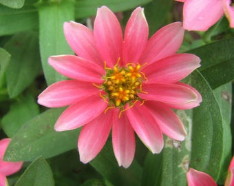 AZPR)~PROFUSION-CORAL Pink Zinnia~Seeds!!!!~~~~~~Massive Quantities!