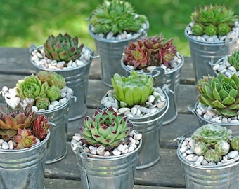 10 Succulent Favors / Hen And Chicks / Succulent Gifts / Live Succulent Place Cards / Bulk Small Succulents Wedding Favor Decoration Shower